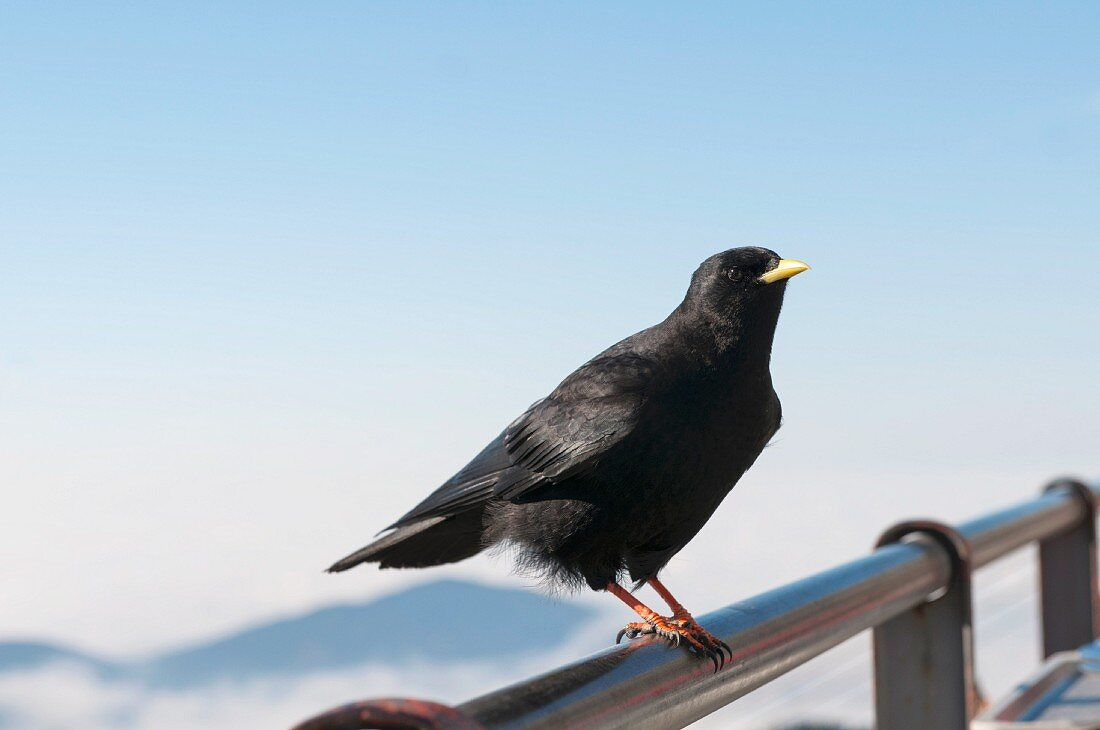Bird sitting on the railing of a viewing platform in the mountains