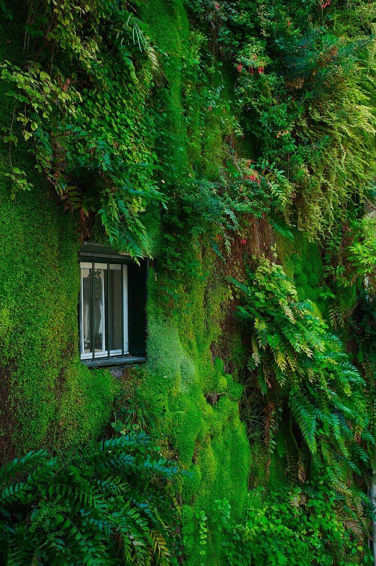 Vertical garden on planted house facade with window