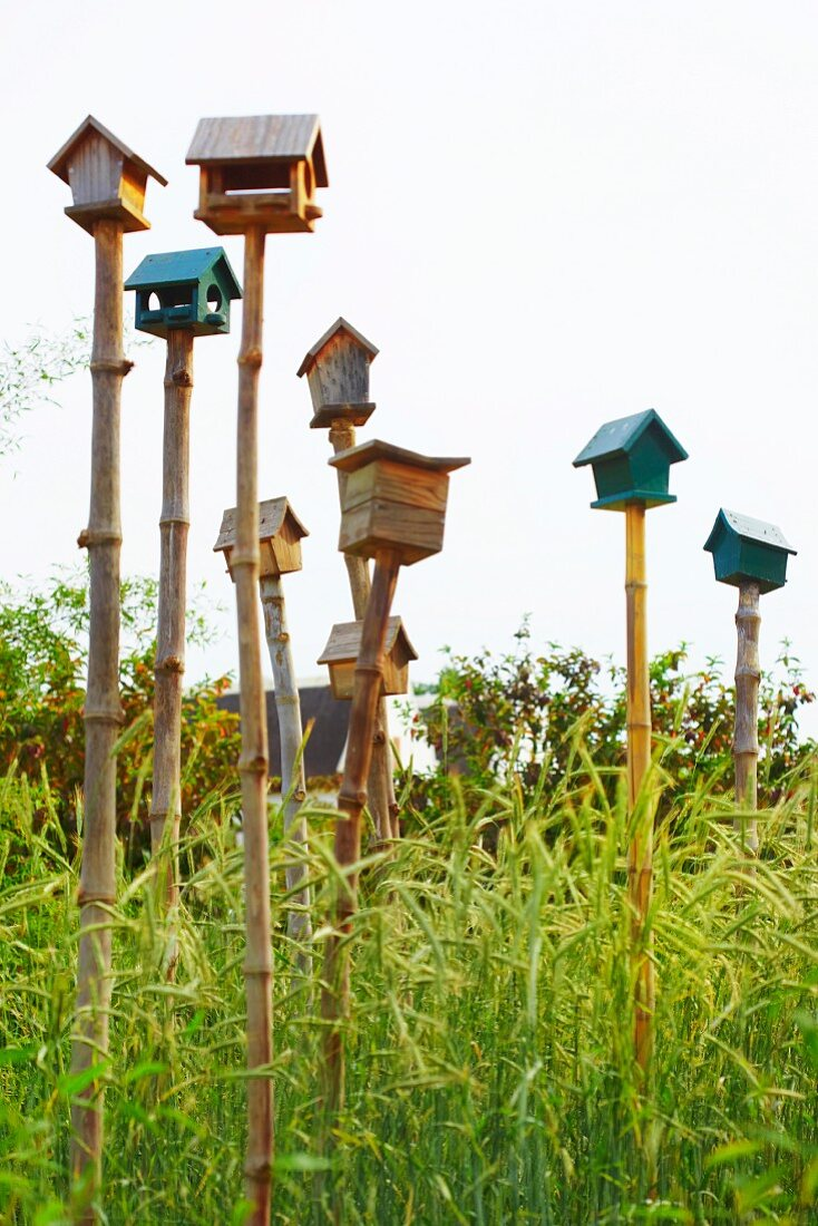Various bird tables and nesting boxes on bamboo poles in corn field