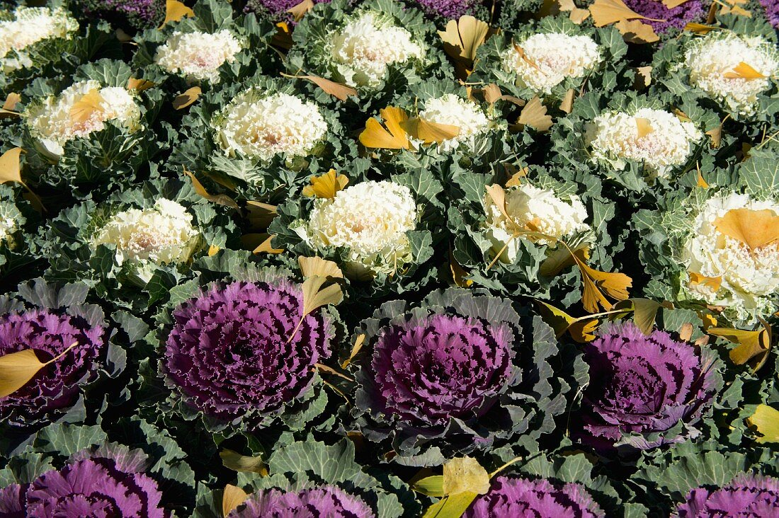 Autumnal gingko leaves fallen on bed of white and purple ornamental cabbages