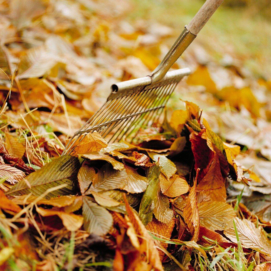 Raking up autumn leaves