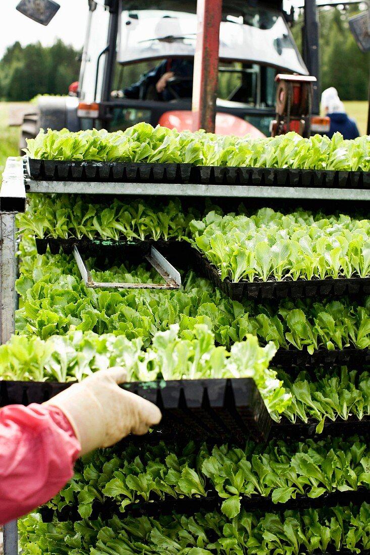 Regal mit Salatsetzlingen in Kunststoff Kästen und Landwirtschaftsfahrzeug