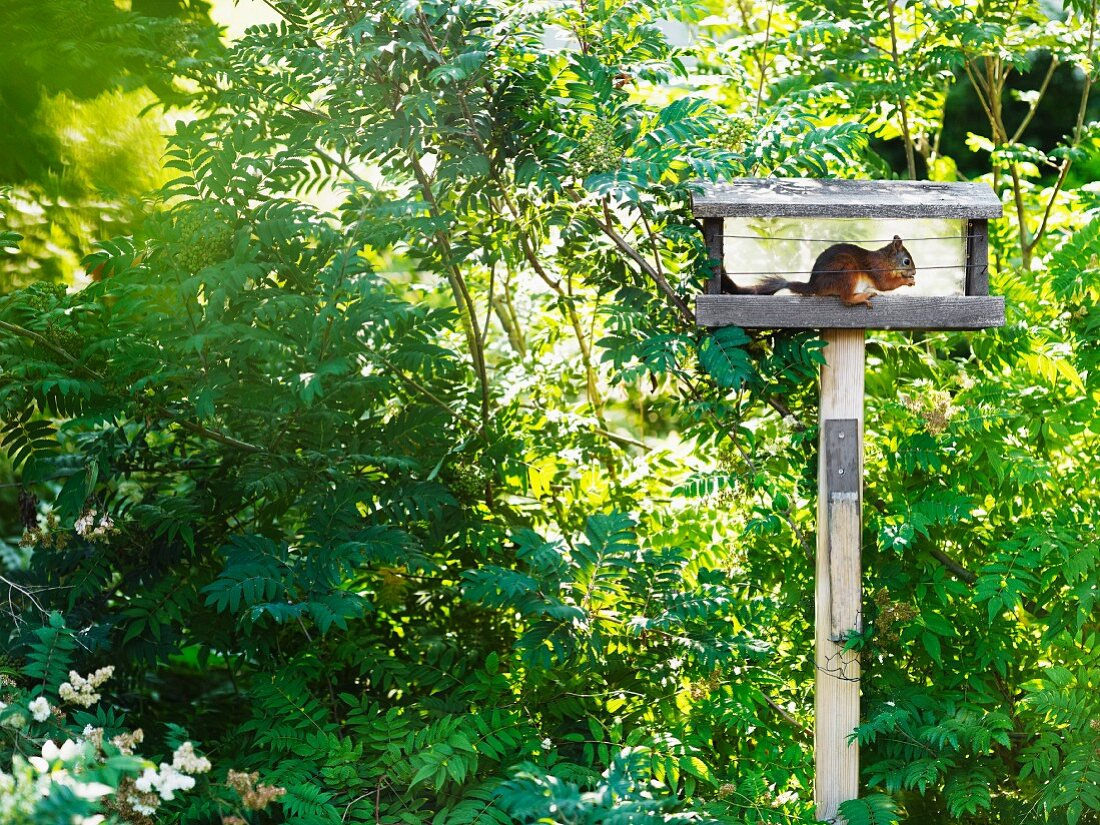 Squirrel sitting on bird table eating seeds