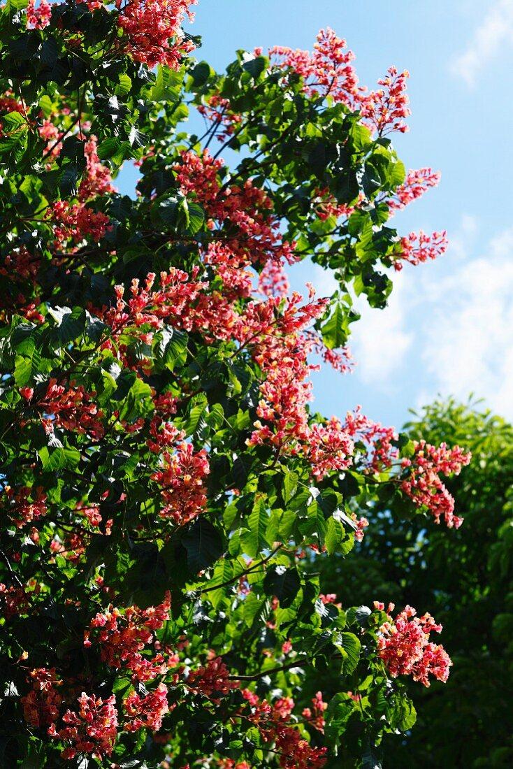 Red horse chestnut (Aesculus × carnea)