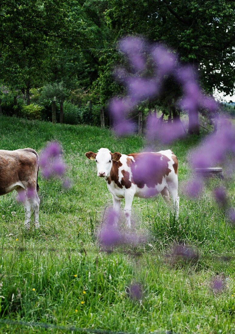 Calf in meadow with purple flowers in foreground