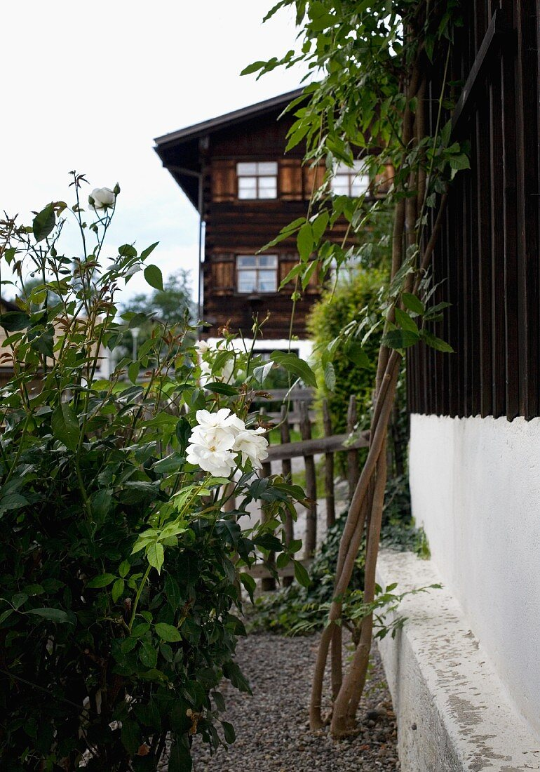 Rosebush in garden adjoining rustic house and old wooden house in background