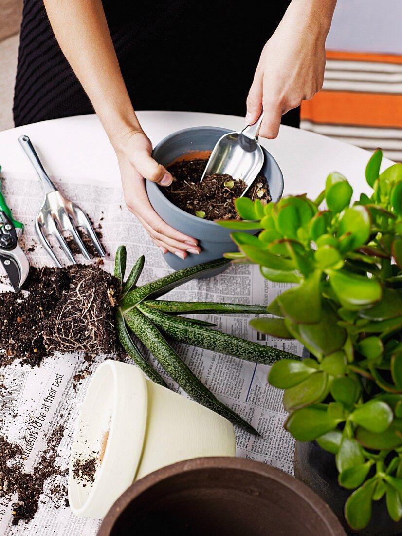 Frauenhände mit Gartenschaufel beim Umtopfen von Aloe Pflanze, seitlich Geldbaum