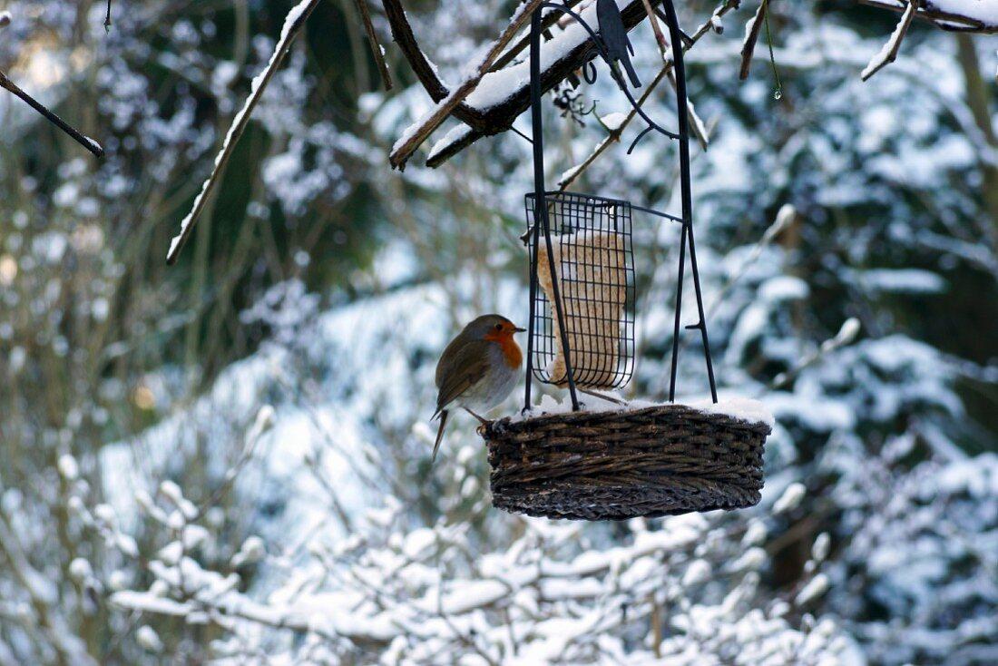 Robin at feeding station in winter landscape