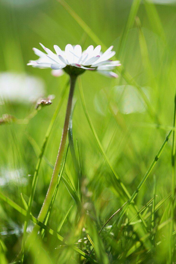A daisy (bellis perennis)