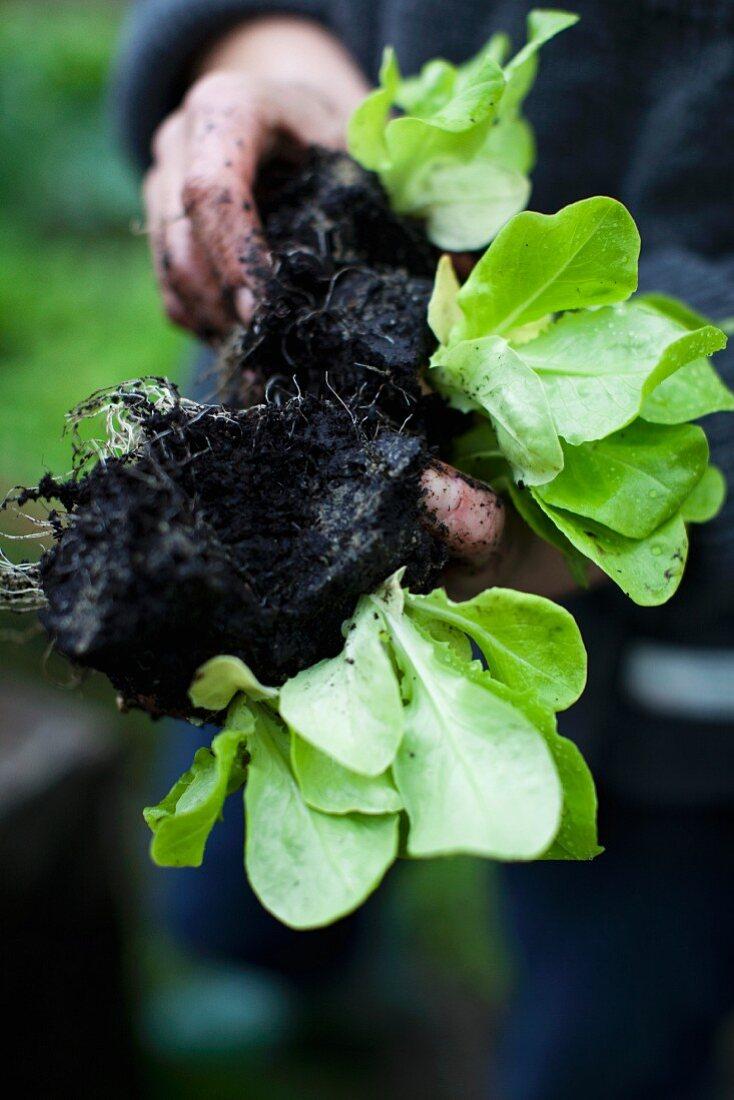 Hands holding lettuce plants