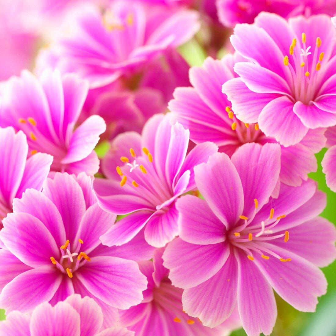 Pink Lewisia (close-up)