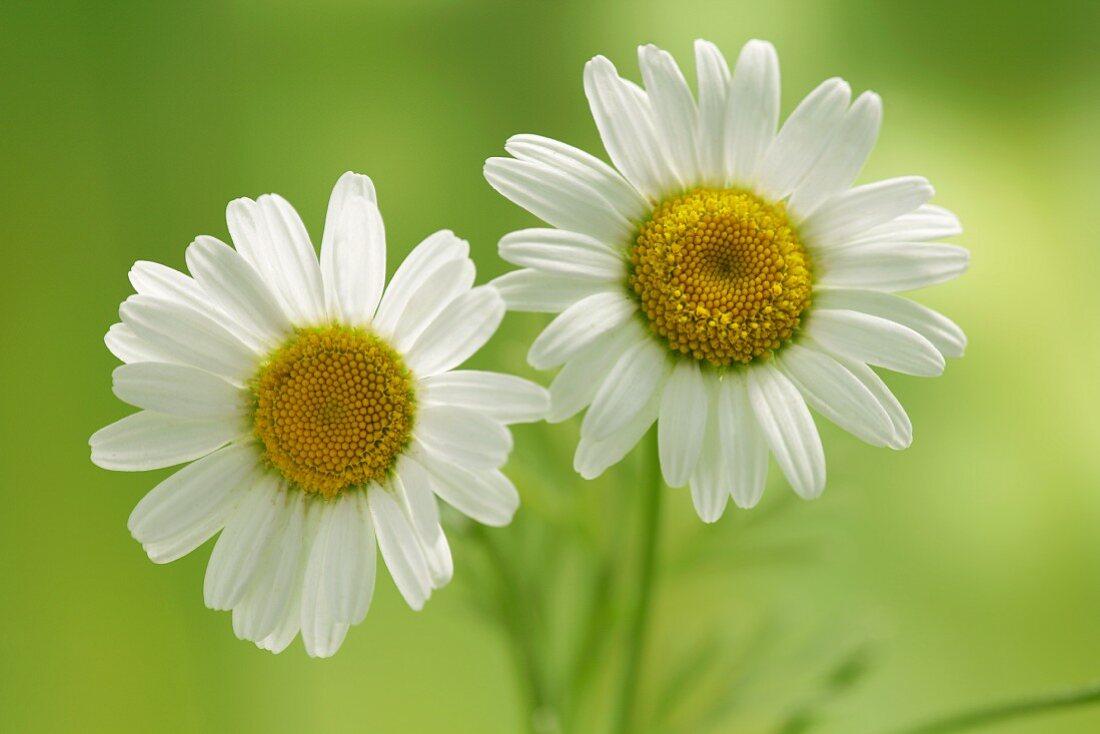 Two chamomile flowers (Matricaria chamomilla)
