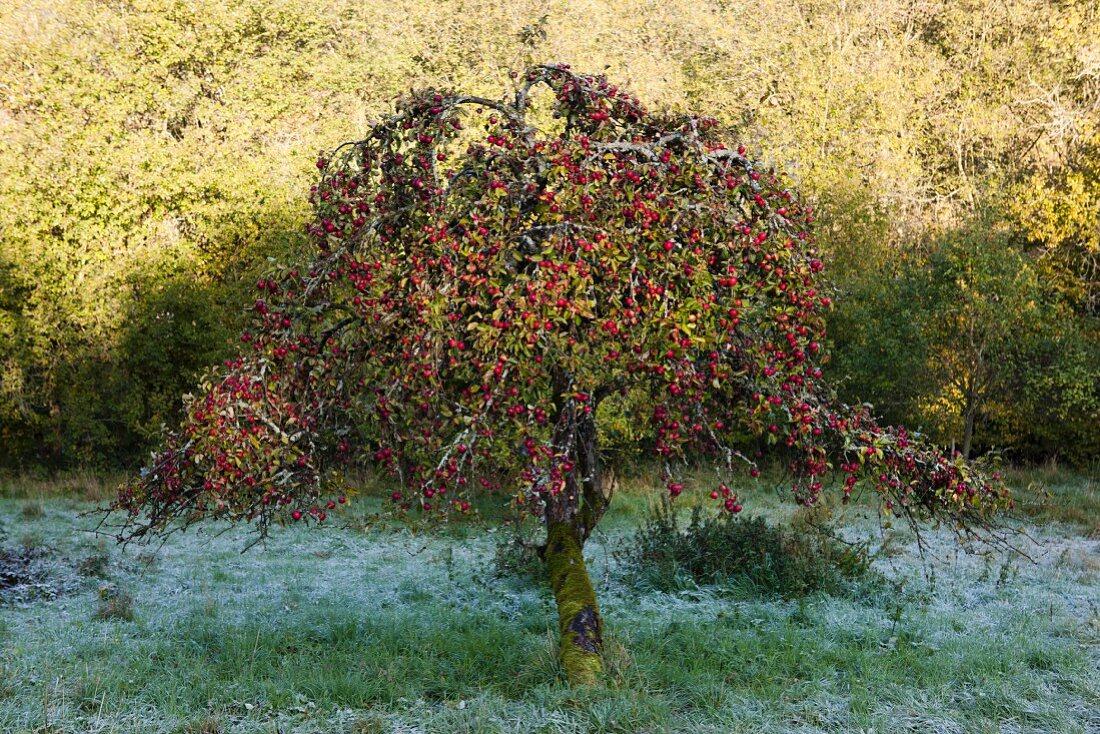 Apple tree in wintery garden with hoar frost on grass