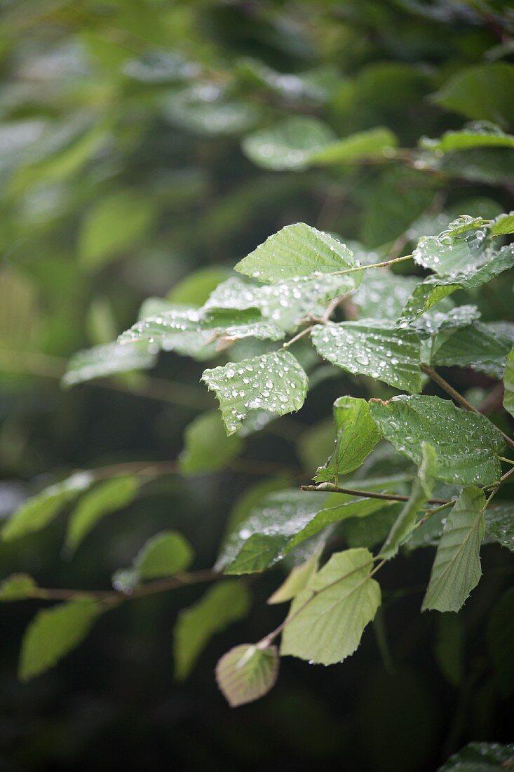 A beech hedge in the rain