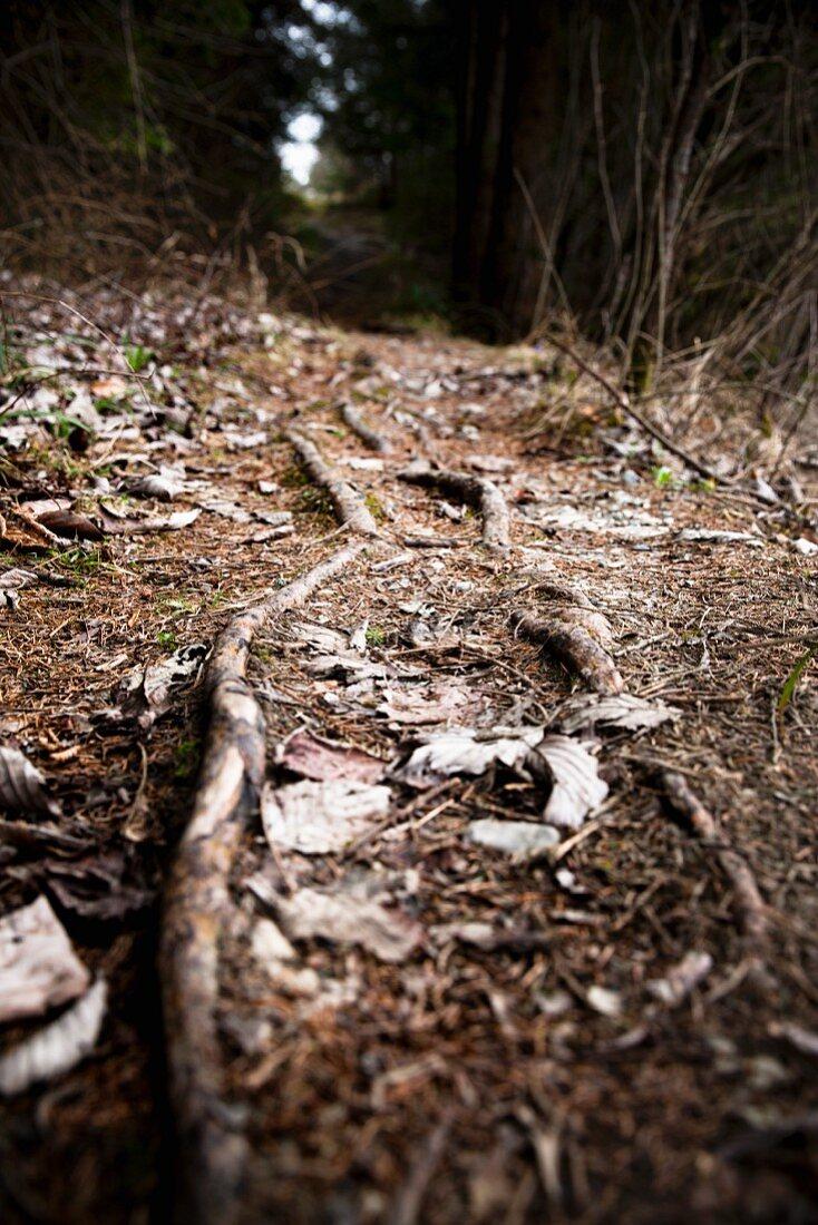 Herbstlicher Waldweg mit Wurzeln in Fichtenwald