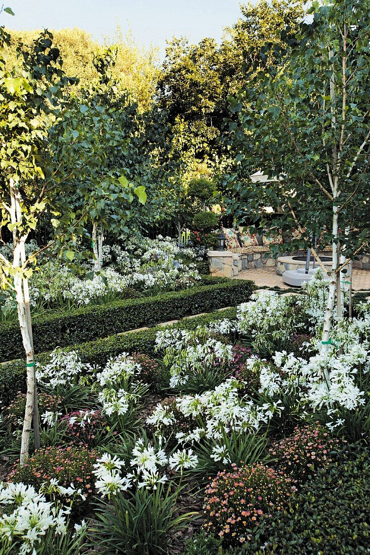 Agapanthus and birches in herbaceous border edged by box hedge