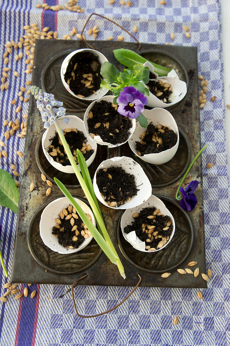 Egg shells filled with soil and cat grass seeds on baking tray