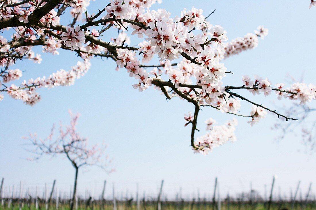 Flowering almond tree against blue sky