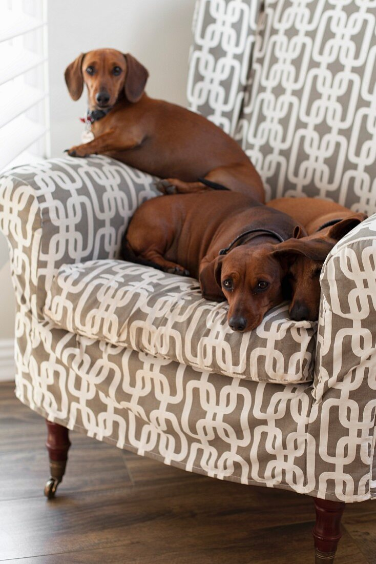 Several dachshunds on comfortable armchair with geometric, white and pale brown upholstery