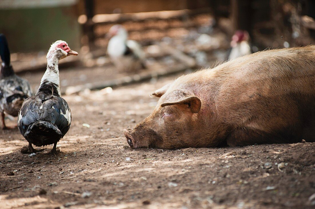 Ducks and pig on South African farm