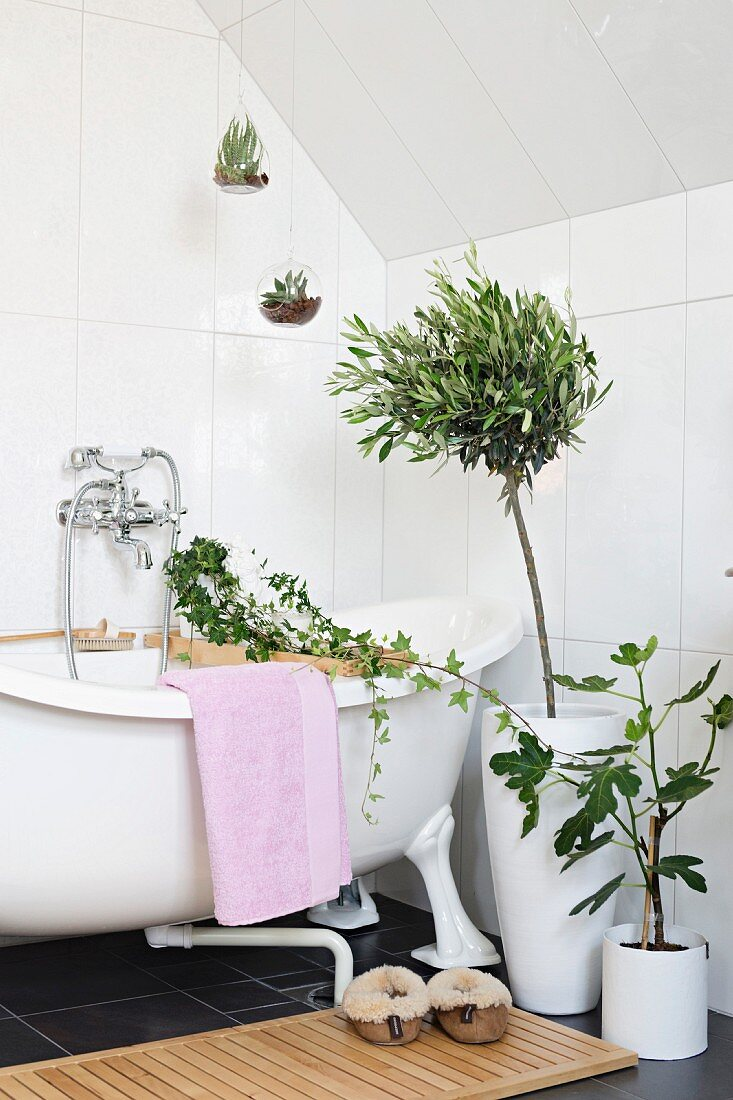 Potted fig and small olive tree, potted ivy on bath rack and plants in glass globes suspended over retro bathtub