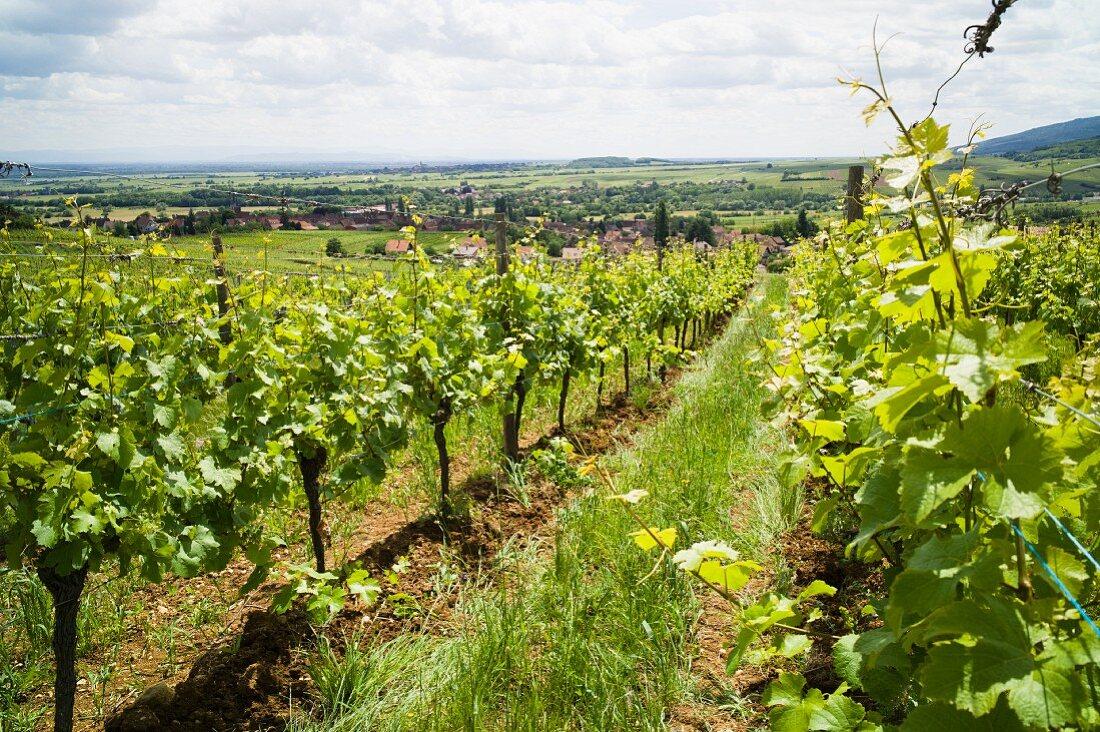 Weinstöckedes Weinguts Rietsch, Elsass