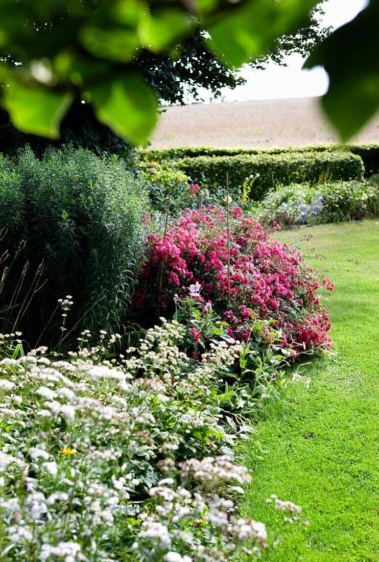 Blühende Blumen im Beet (Sterndolde, Apfelminze) neben gemähtem Rasen in sommerlichem Garten