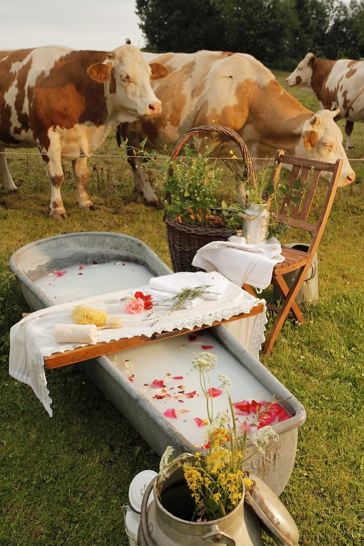 Milk bath with rose petals and bathing utensils on bath caddy in meadow with cows in background