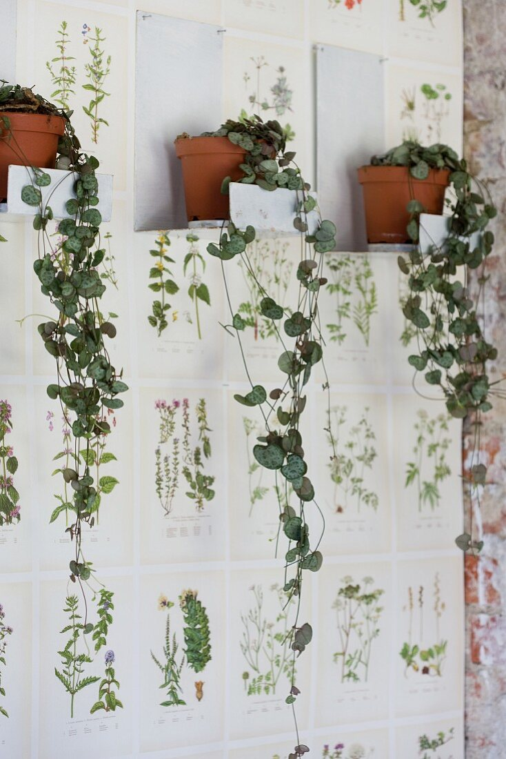 Trailing plants in terracotta pots on white metal brackets on wallpaper with botanical pattern