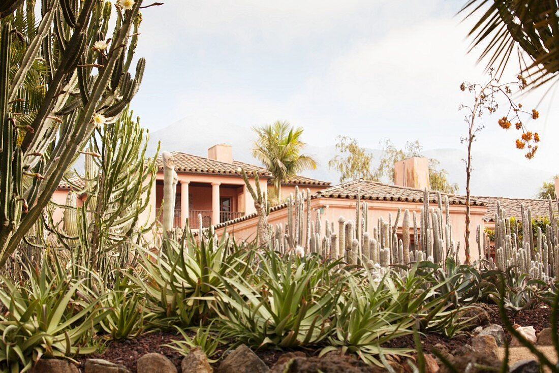 Exotic cactus garden outside house with walls painted terracotta pink