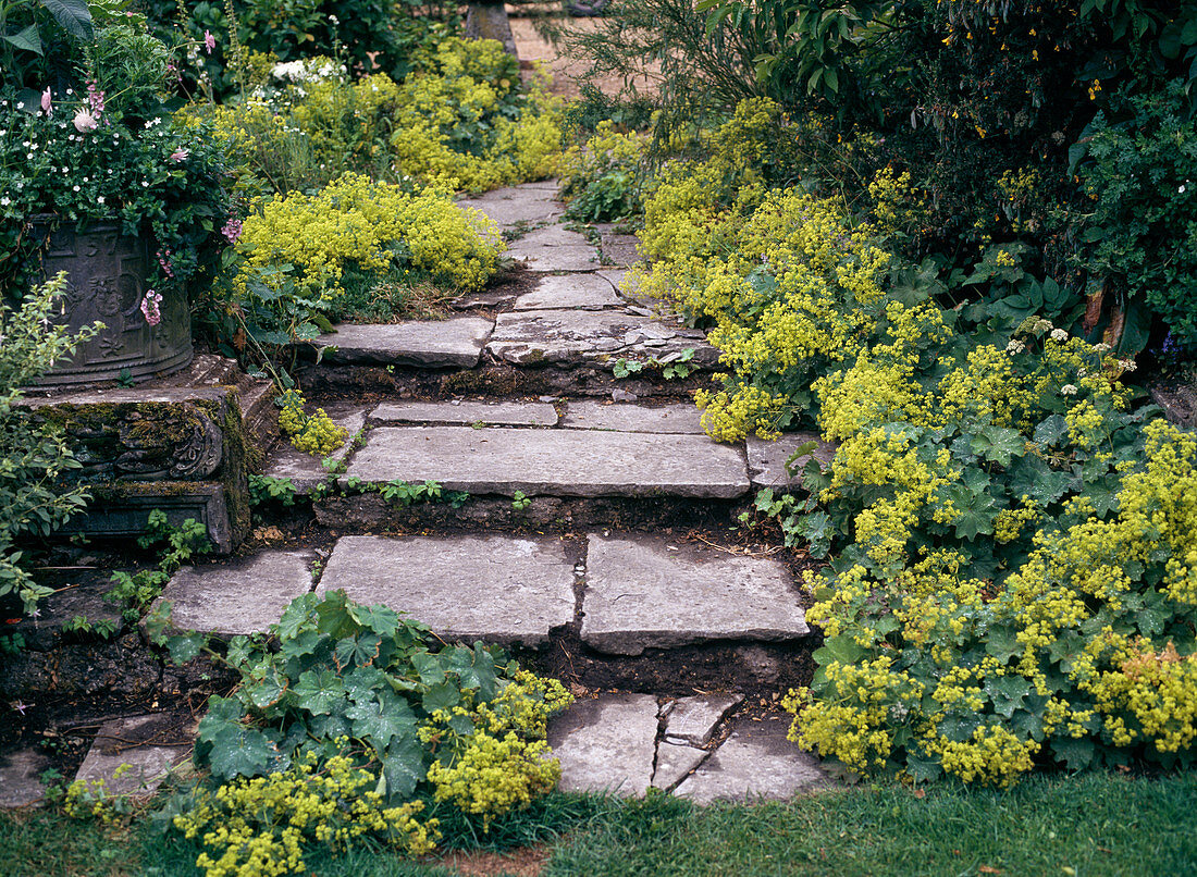 Stairs with Alchemilla mollis