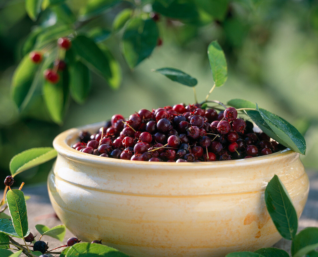 Amelanchier canadensis fruits from rock pear
