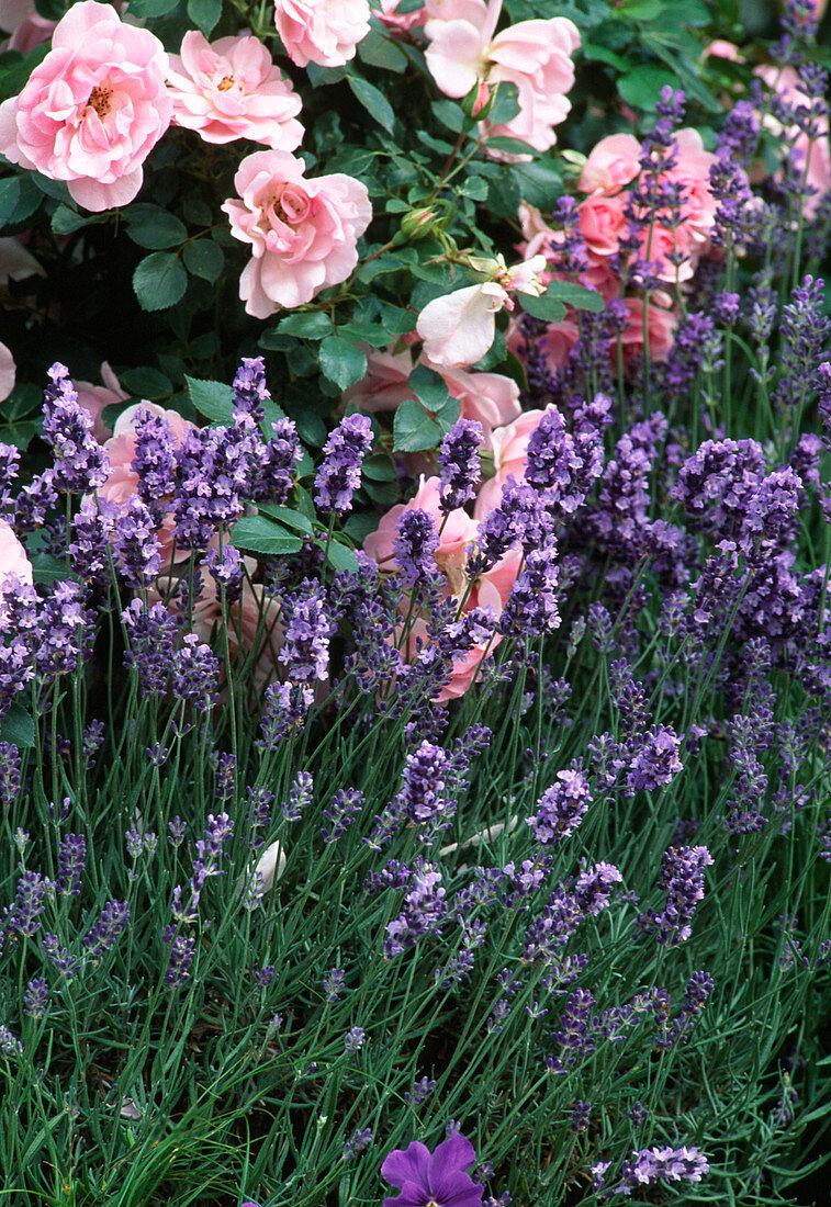 Rose 'Bonica', Lavandula angustifolia (lavender)