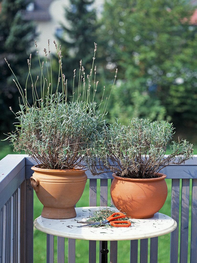 Cut back lavender after flowering