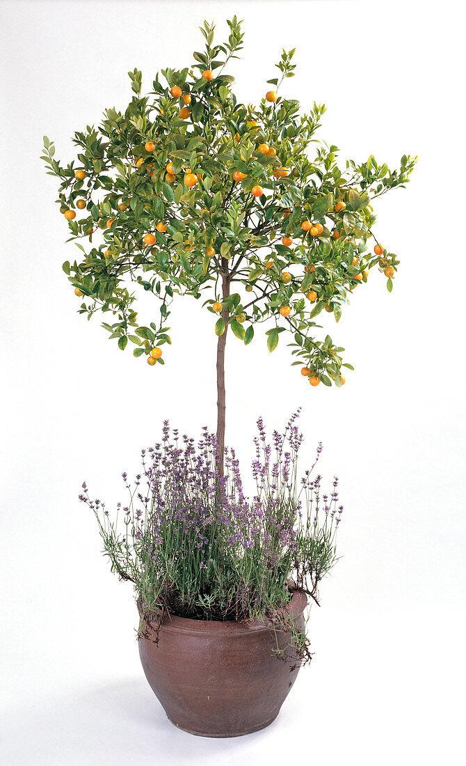 Citrus X mitis, Lavandula