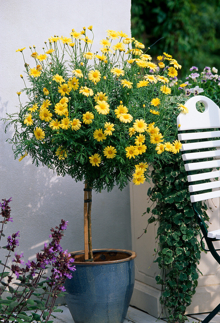 Agryanthemum frutescens (Chrysanthemum)