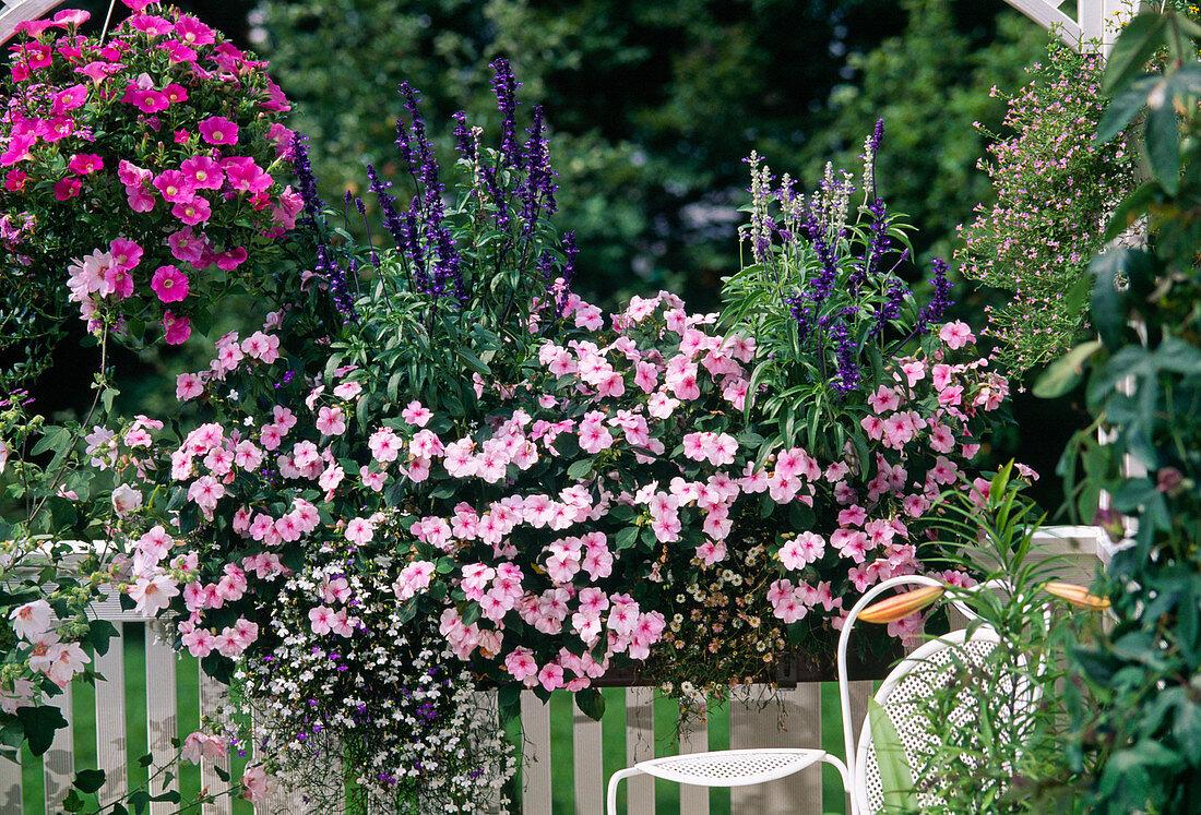 "Impatiens walleriana ""Accent Light Pink"", Salvia"