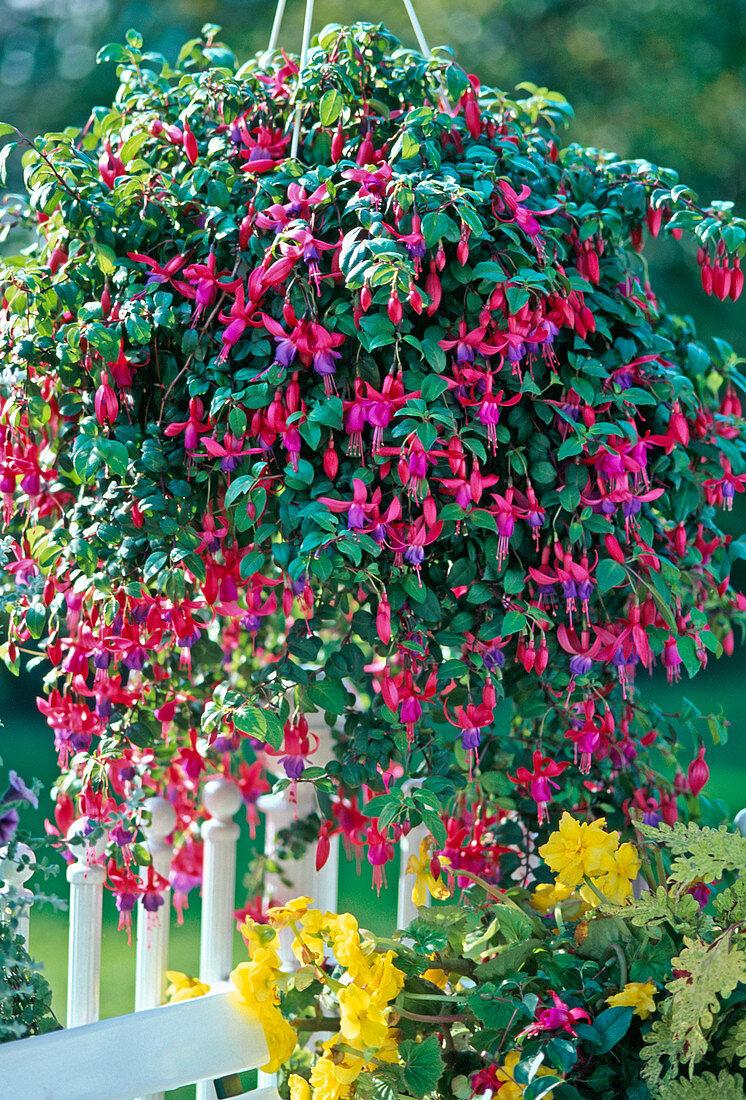 Fuchsia hybrid 'Multa'