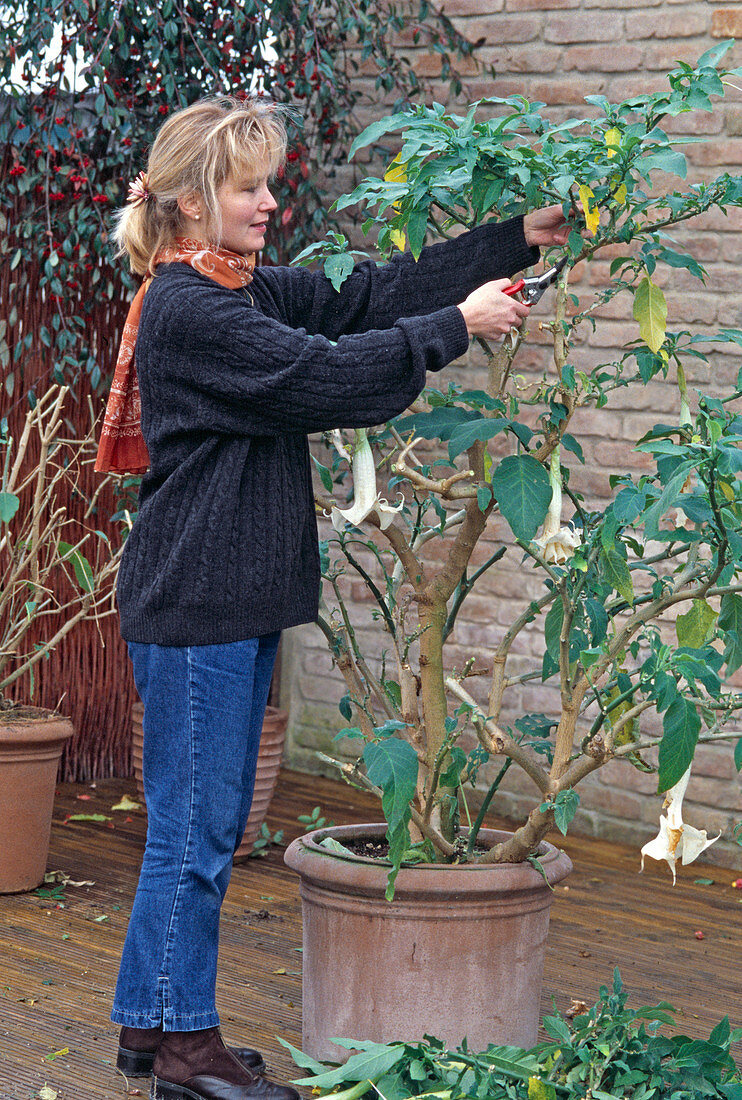 Cutting back the Datura (angel's trumpet) in autumn