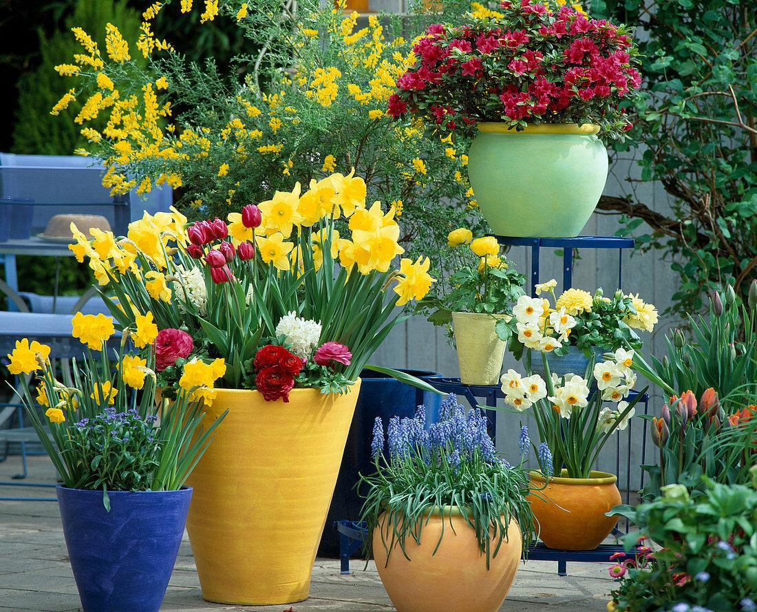 Etagere with Azalea, Narcissus hybrid 'Golden Harvest', Muscari