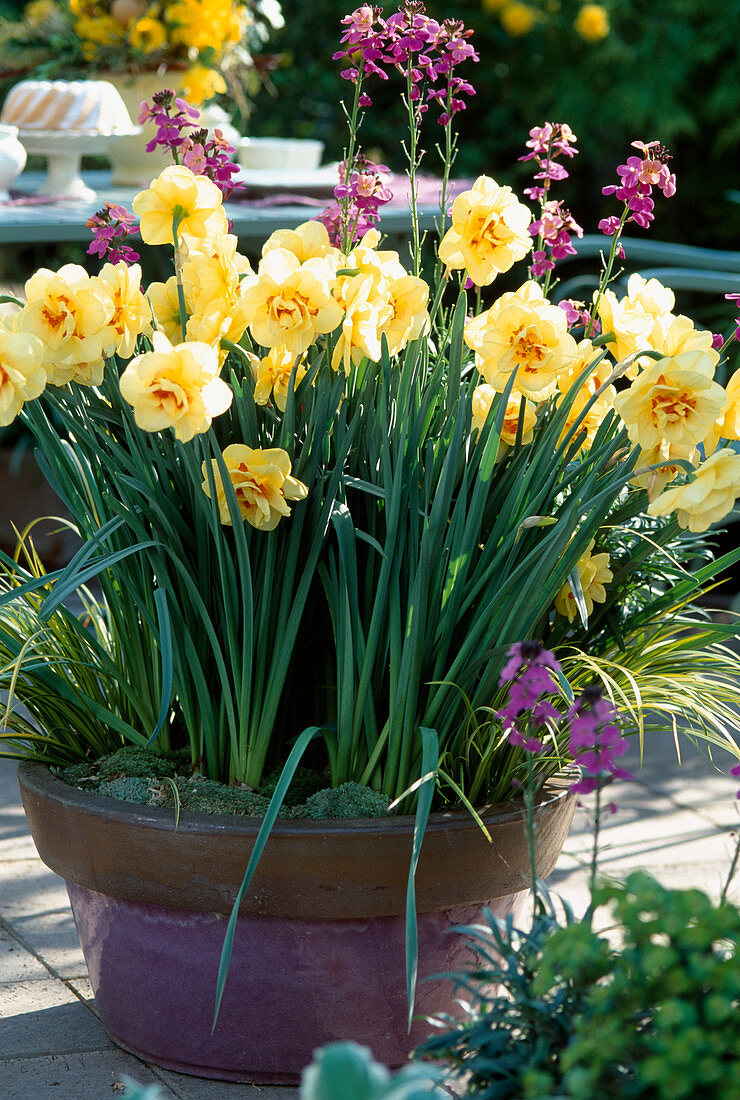 Narcissus hybrids 'Apotheosis', Erysimum cheiri (Gold lacquer)