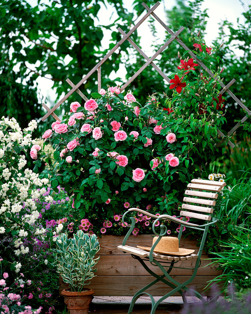 Mobile privacy screen, wooden container with rose 'Gertrude Jekyll'
