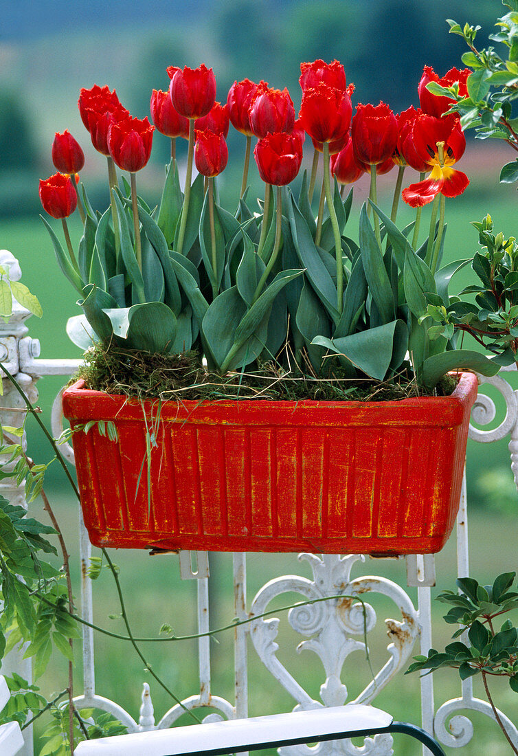 Tulipa hybrid 'Arma'