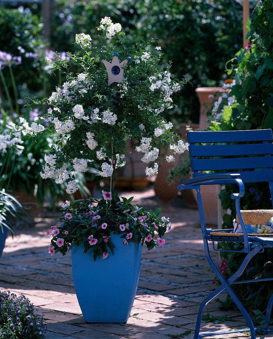 Solanum jasminoides (nightshade jasmine)