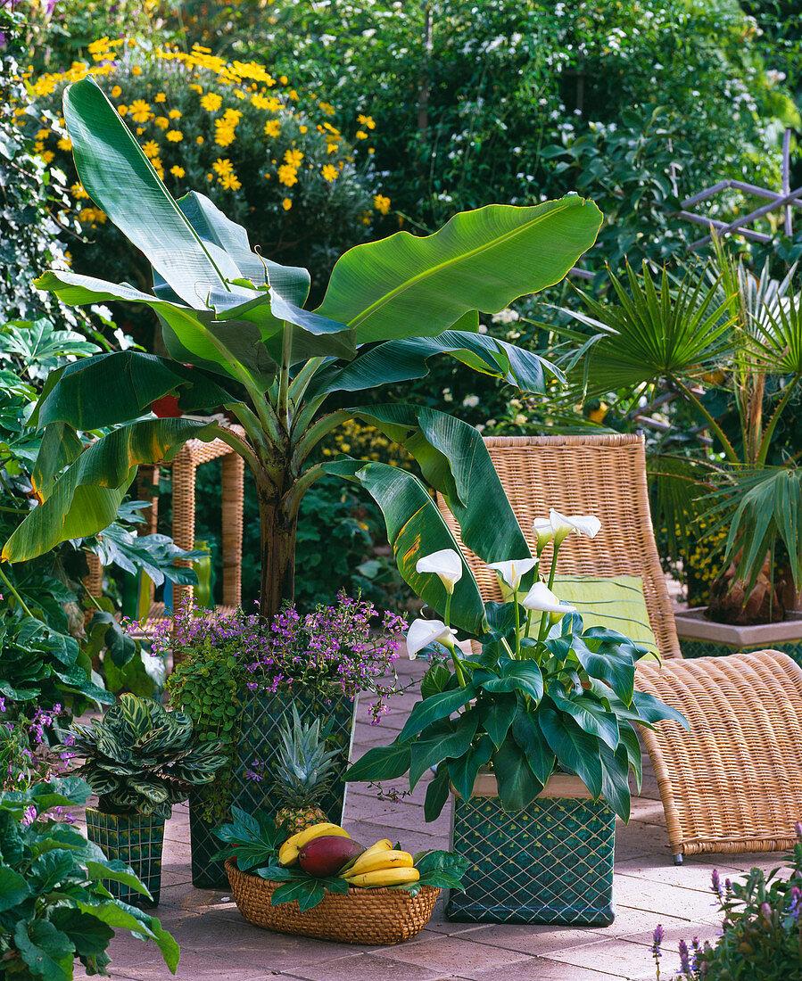 Musa ensete (ornamental banana), Zantedeschia (arum lily)