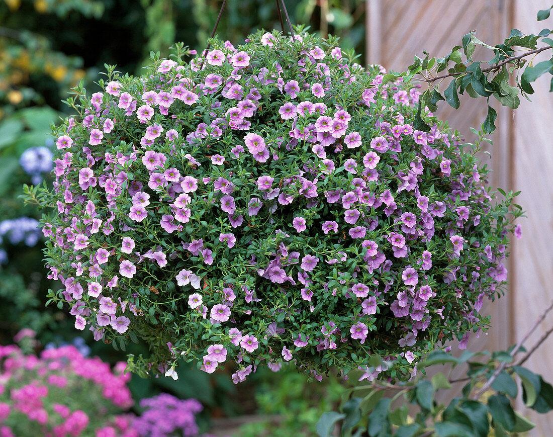 Calibrachoa 'Light Pink'