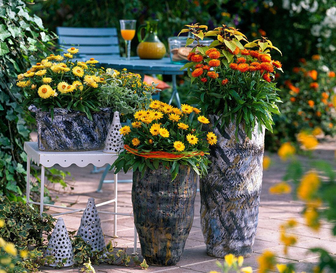 Helichrysum Sundaze 'Gold', 'Lemon', 'Bronze' (Strawflower)
