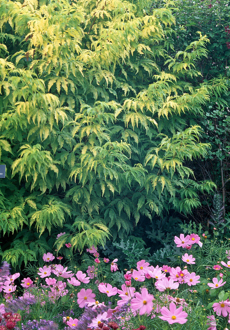 Sambucus racemosa 'Plumosa Aurea', Cosmos