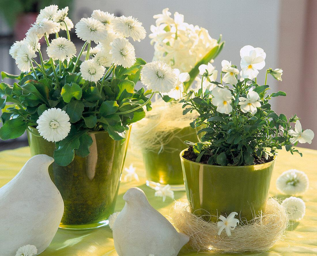 Bellis perennis (daisies), Viola cornuta (horned pansy)