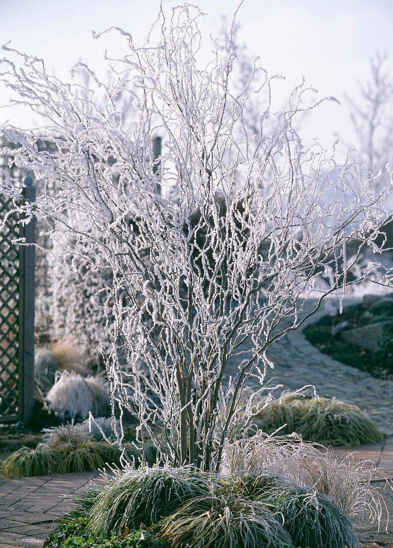 Salix tortuosa (corkscrew willow)